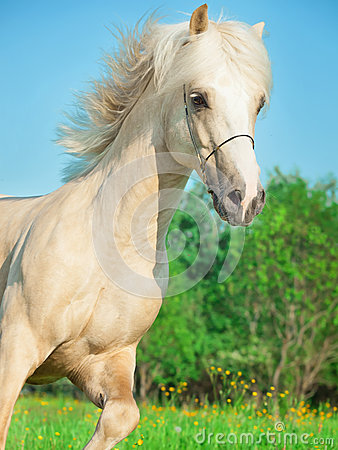 Palomino welsh pony  in motion in blossom field