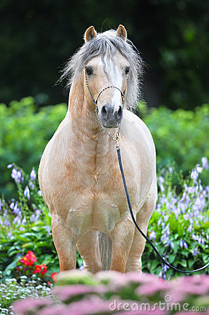 Palomino Welsh pony portrait in flowers