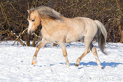 Palomino Welsh pony runs trot on the snow