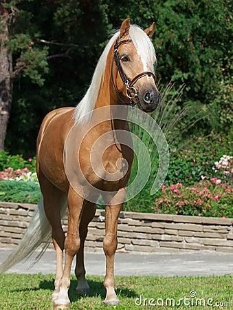 Palomino welsh pony