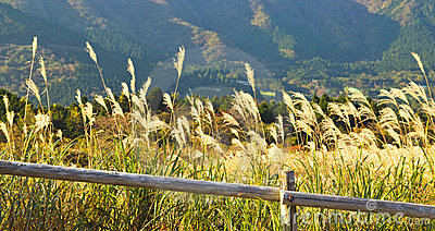 Pamapas Grass Field in autumn at Hakone, Japan