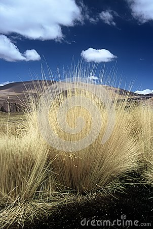 Pampas Gras in Bolivia,Bolivia