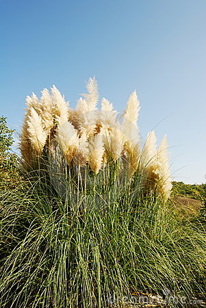 Free Pampas Grass Stock Images - 11441024