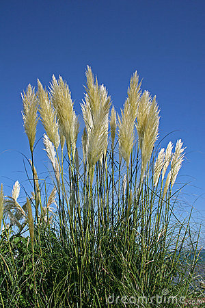 Free Pampas Grass Stock Photography - 11948812
