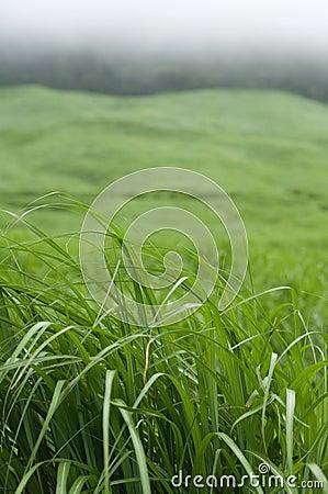 Free Pampas Grass Stock Photos - 11997103
