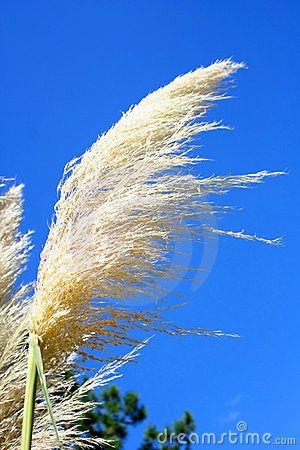 Free Pampas Grass Royalty Free Stock Images - 2061459