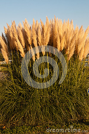Free Pampas Grass Royalty Free Stock Images - 27343539