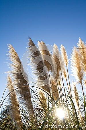 Free Pampas Grass Stock Photos - 3898733