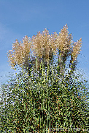 Free Pampas Grass Royalty Free Stock Photo - 684945