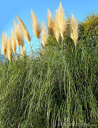 Free Pampas Grass Against Blue Sky Stock Photos - 1388763