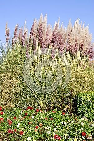 Free Pampas Grass And Dahlias Stock Images - 15868394
