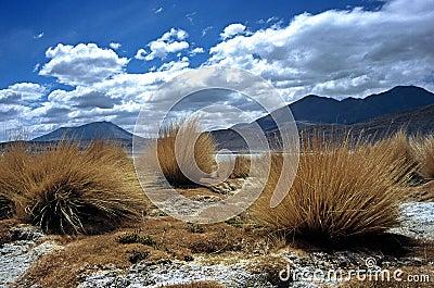 Pampas Grass  in Bolivia,Bolivia