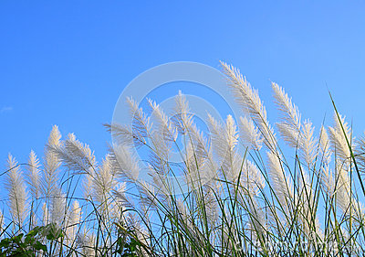 Pampas grass or Cortaderia selloana