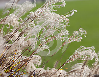 Pampas grass on green background