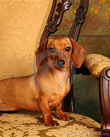 Pampered Dachshund