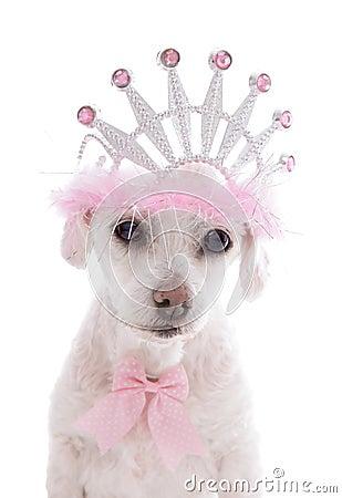 Free Pampered Princess Pet Dog Royalty Free Stock Photos - 34595208