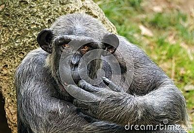 Pan, chimpanzee