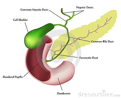 Pancreas, duodenum and gall bladder