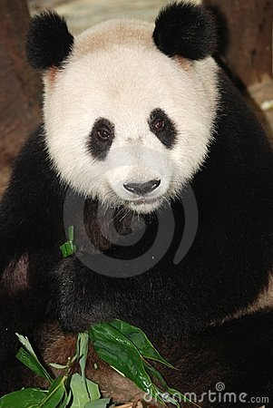 Free Panda Royalty Free Stock Photography - 11404197