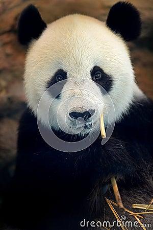 Free Panda Stock Photos - 40258023