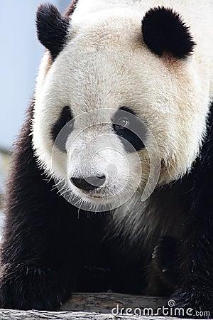 Free Panda Royalty Free Stock Image - 4681776