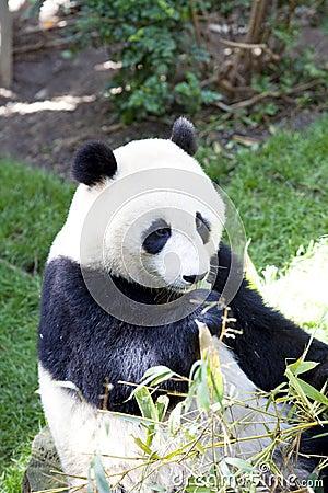 Panda baby Bear