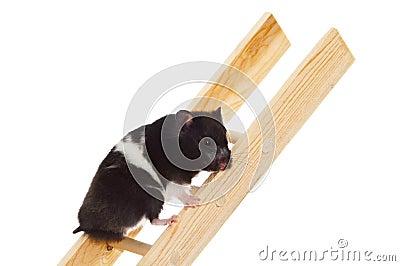 Panda Bear Hamster