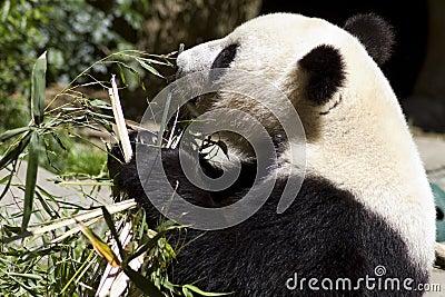 Panda Bears Eats Bamboo Shoots