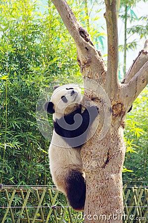 A Panda Climbing The Tree Royalty Free Stock Images