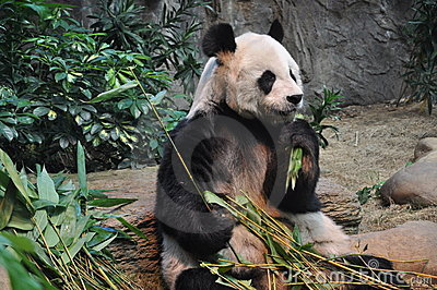 The panda eating bamboo leaves