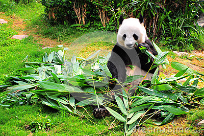 panda eating bamboo leaves