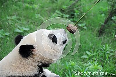 Panda eating cake.