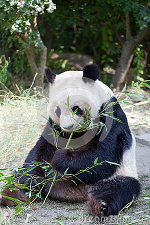 Panda enorme un oso