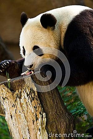 Panda feeding time