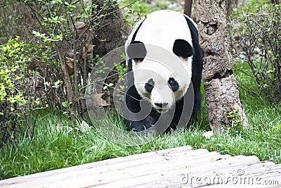 Panda (Giant Panda)