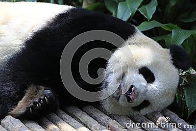 Panda gigante 8