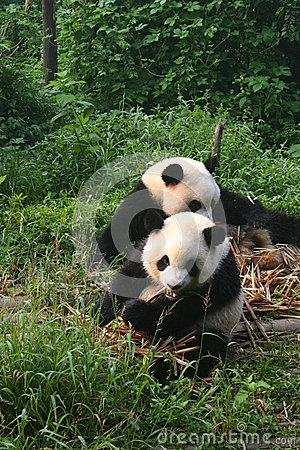 Panda s at feeding time