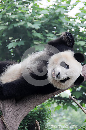 Panda sleep on the tree