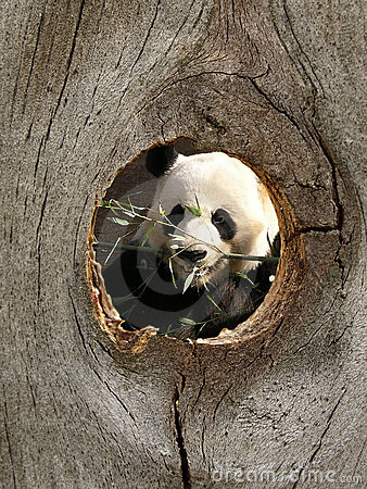 Panda Zoo Animal in Fence Knot Hole