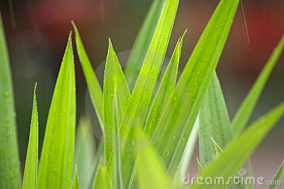 Pandan leaves in the rain