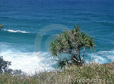 Pandanas Tree against the ocean Stradbroke Island