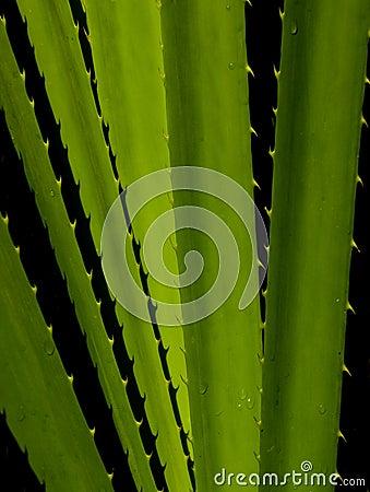 Free Pandanus Plant Stock Image - 13181351