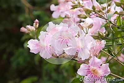 Pandorea Ricasoliana (pink tecoma, pink