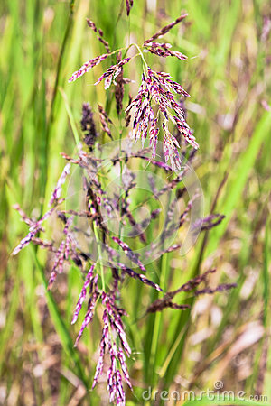 Free Panicles Of Festuca Rubra Red Fescue Close Up Royalty Free Stock Photo - 88771605