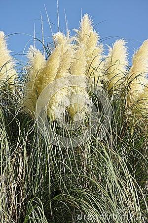 Free Panicles Of Pampas Grass Stock Photos - 80397303