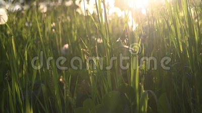 Green summer grass with backlight stock footage