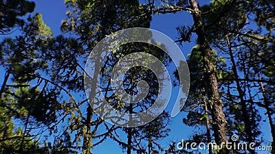 Panning tot de pijnbomen stock videobeelden