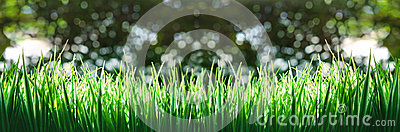Panoram of green grass