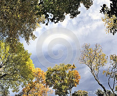 Panorama,  autumn leaves of maple