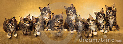 Panorama collage of Maine Coon kittens
